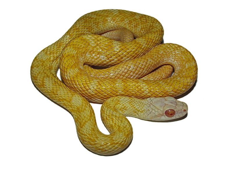 albino japanese rat snake